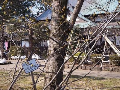 弘前公園のマルバマンサク_2020.03.08_d0131668_10214739.jpg