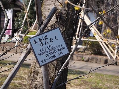 弘前公園のマルバマンサク_2020.03.08_d0131668_10221276.jpg
