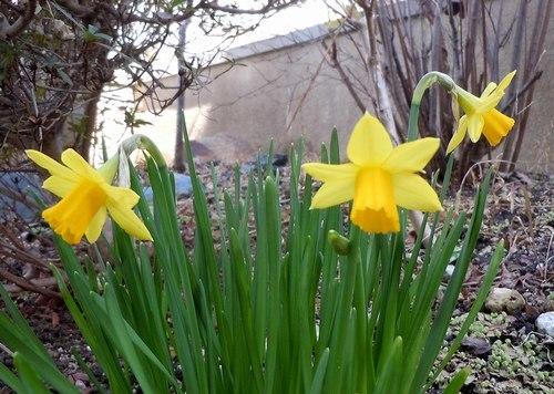 庭に水仙が咲いた日 でもちょっと憂鬱_b0102572_14381632.jpg