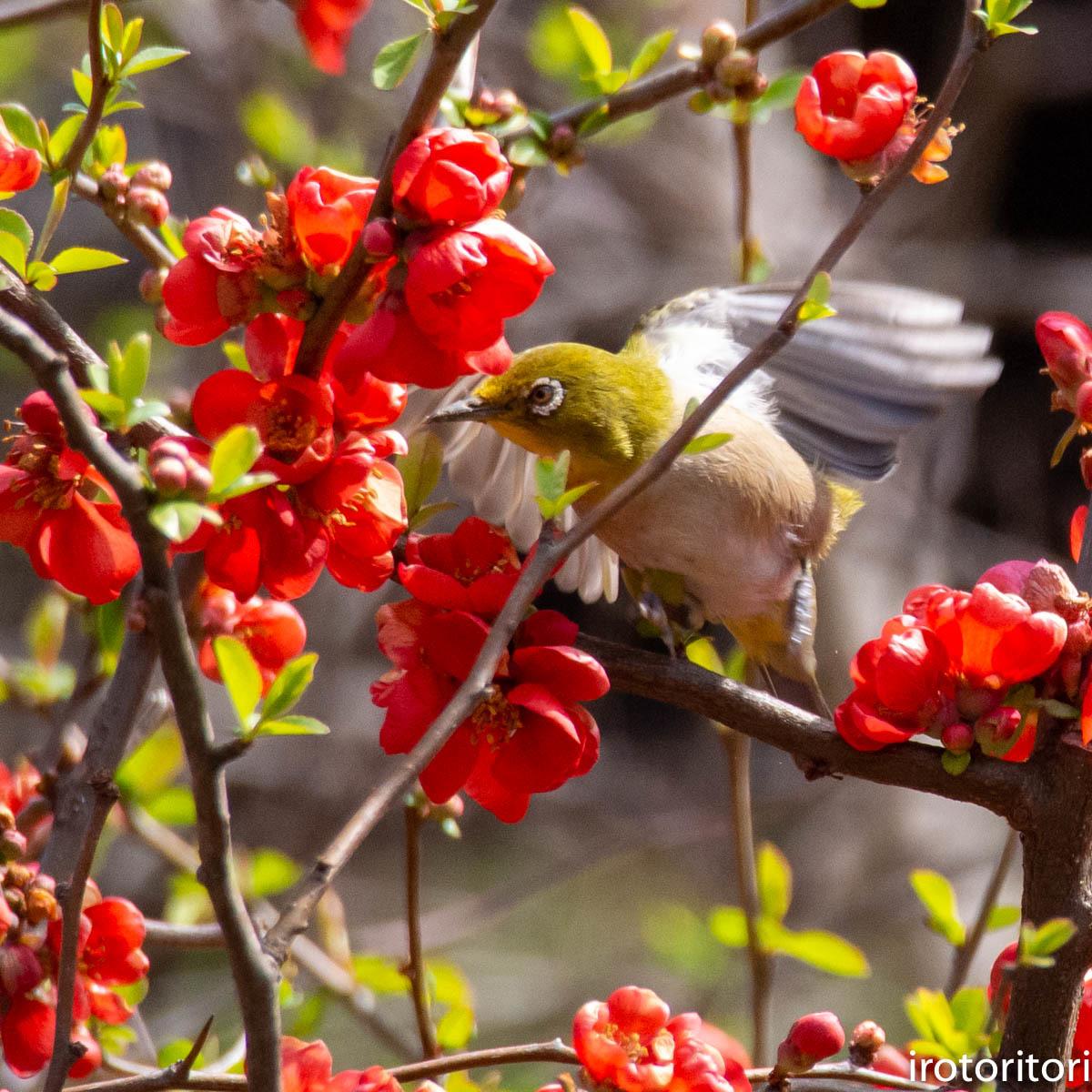 春です!!  (メジロ)  2020/03/09_d0146592_23243722.jpg