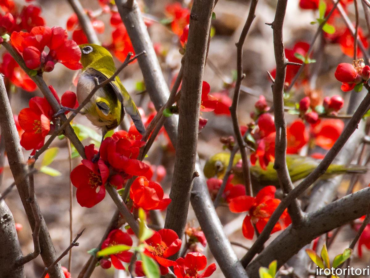 春です!!  (メジロ)  2020/03/09_d0146592_23261992.jpg