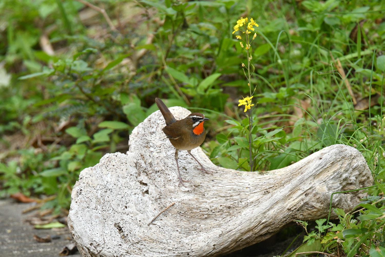 ノゴマ 奄美大島:与路島の野鳥 ⑨_e0362696_15435507.jpg