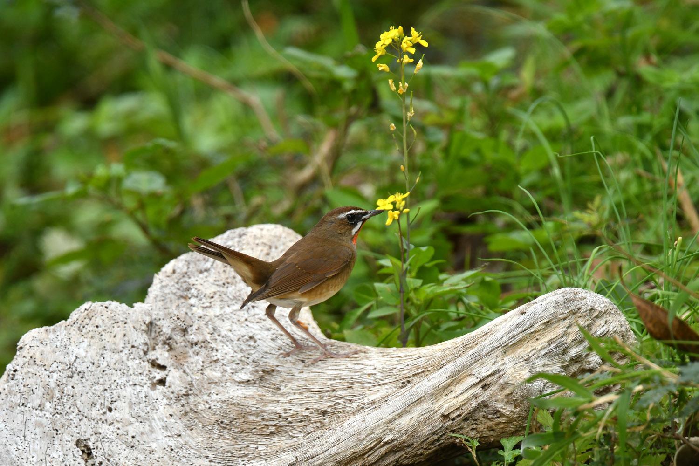 ノゴマ 奄美大島:与路島の野鳥 ⑨_e0362696_15440616.jpg