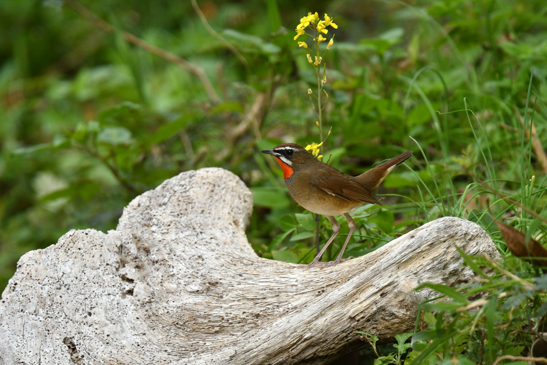ノゴマ 奄美大島:与路島の野鳥 ⑨_e0362696_15443218.jpg