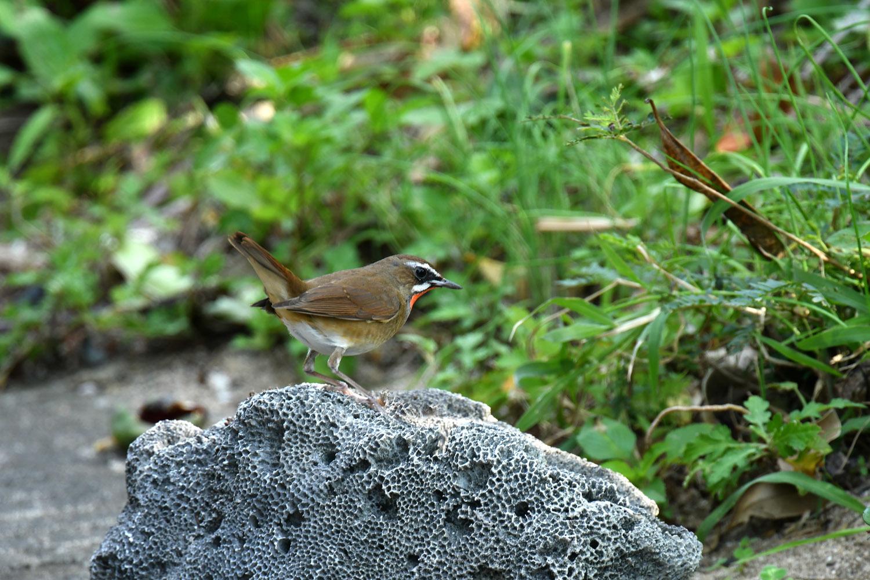 ノゴマ 奄美大島:与路島の野鳥 ⑨_e0362696_15451757.jpg