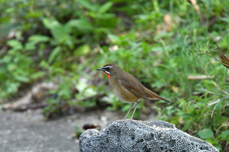 ノゴマ 奄美大島:与路島の野鳥 ⑨_e0362696_15452311.jpg