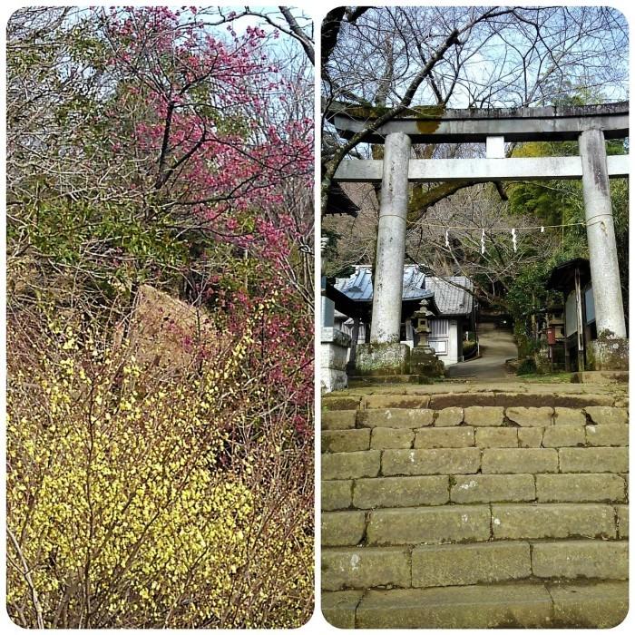 ■ウォーキング【家から➡八菅山展望台/寒緋桜とレンギョウが満開♪】_b0033423_22142700.jpg