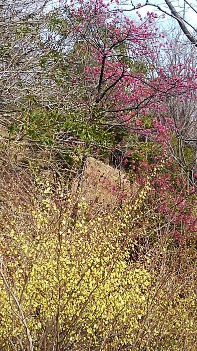 ■ウォーキング【家から➡八菅山展望台/寒緋桜とレンギョウが満開♪】_b0033423_22151495.jpg