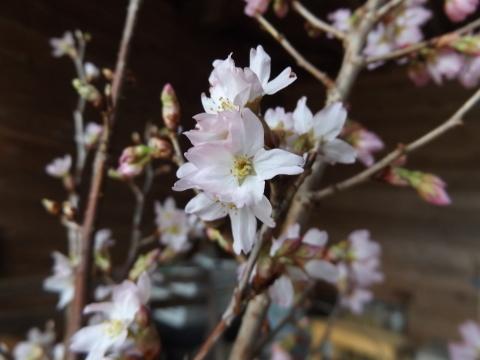 冬咲く桜「啓翁桜」_b0092858_18143249.jpg