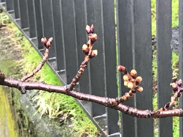 もうすぐです。桜 / yoshi_d0135801_10054183.jpg