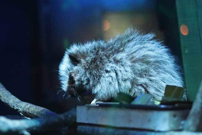 日本初!ウスイロホソオクモネズミの赤ちゃん誕生!!(埼玉県こども動物自然公園)_b0355317_22022842.jpg