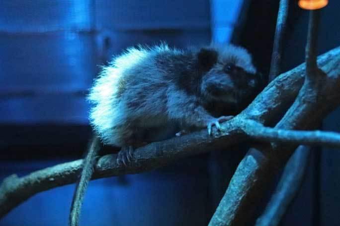 日本初!ウスイロホソオクモネズミの赤ちゃん誕生!!(埼玉県こども動物自然公園)_b0355317_22033660.jpg