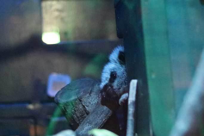 日本初!ウスイロホソオクモネズミの赤ちゃん誕生!!(埼玉県こども動物自然公園)_b0355317_22074624.jpg
