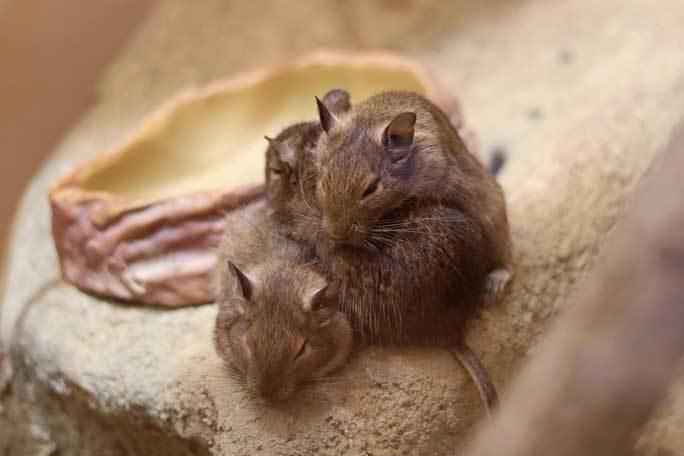 日本初!ウスイロホソオクモネズミの赤ちゃん誕生!!(埼玉県こども動物自然公園)_b0355317_22105120.jpg