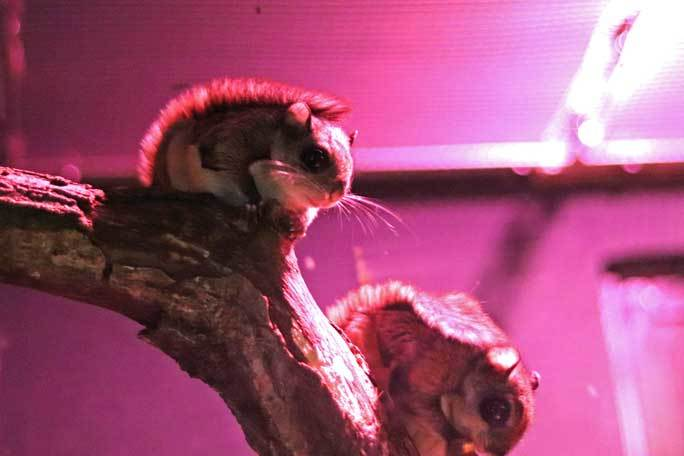 日本初!ウスイロホソオクモネズミの赤ちゃん誕生!!(埼玉県こども動物自然公園)_b0355317_22113947.jpg