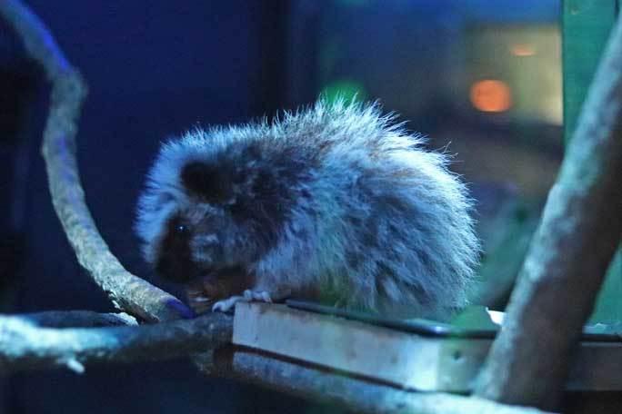 日本初!ウスイロホソオクモネズミの赤ちゃん誕生!!(埼玉県こども動物自然公園)_b0355317_22130378.jpg