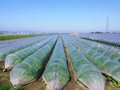 有機栽培の水田ごぼう 令和2年も元気に成長中!今年は例年通りの5月上旬より出荷予定です!!_a0254656_17094781.jpg