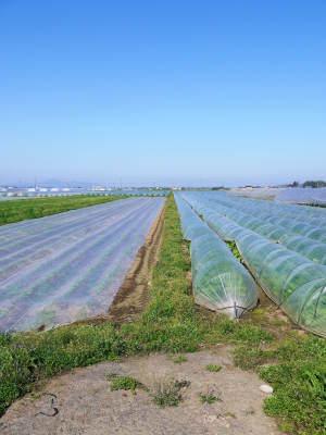 有機栽培の水田ごぼう 令和2年も元気に成長中!今年は例年通りの5月上旬より出荷予定です!!_a0254656_17121621.jpg