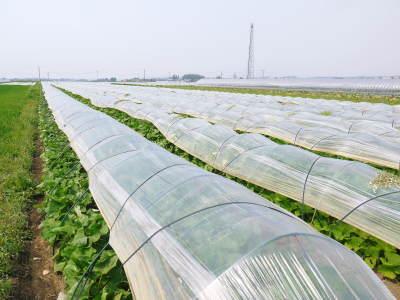 有機栽培の水田ごぼう 令和2年も元気に成長中!今年は例年通りの5月上旬より出荷予定です!!_a0254656_17565276.jpg