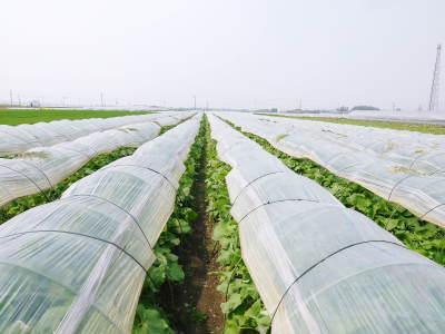 有機栽培の水田ごぼう 令和2年も元気に成長中!今年は例年通りの5月上旬より出荷予定です!!_a0254656_17594380.jpg