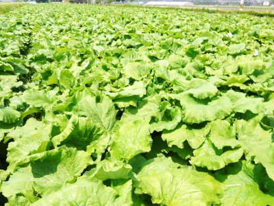 有機栽培の水田ごぼう 令和2年も元気に成長中!今年は例年通りの5月上旬より出荷予定です!!_a0254656_18080724.jpg