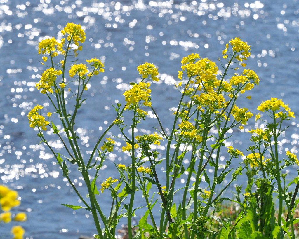 「ラブリバー親水公園うぬき」から 春の花_c0305565_17384818.jpg