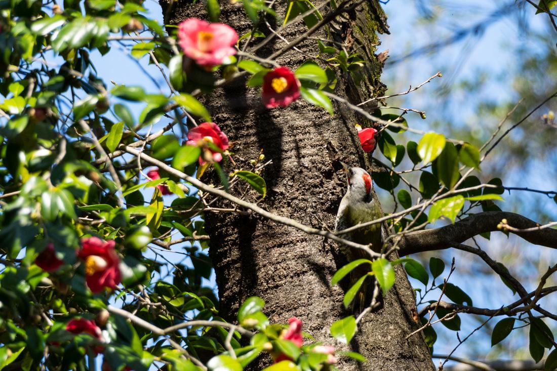 椿の花に紛れて蜜を吸う アオゲラ_a0261169_12521430.jpg