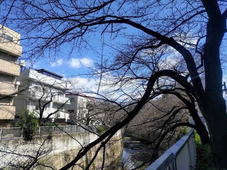 桜開花_f0017300_17293257.jpg