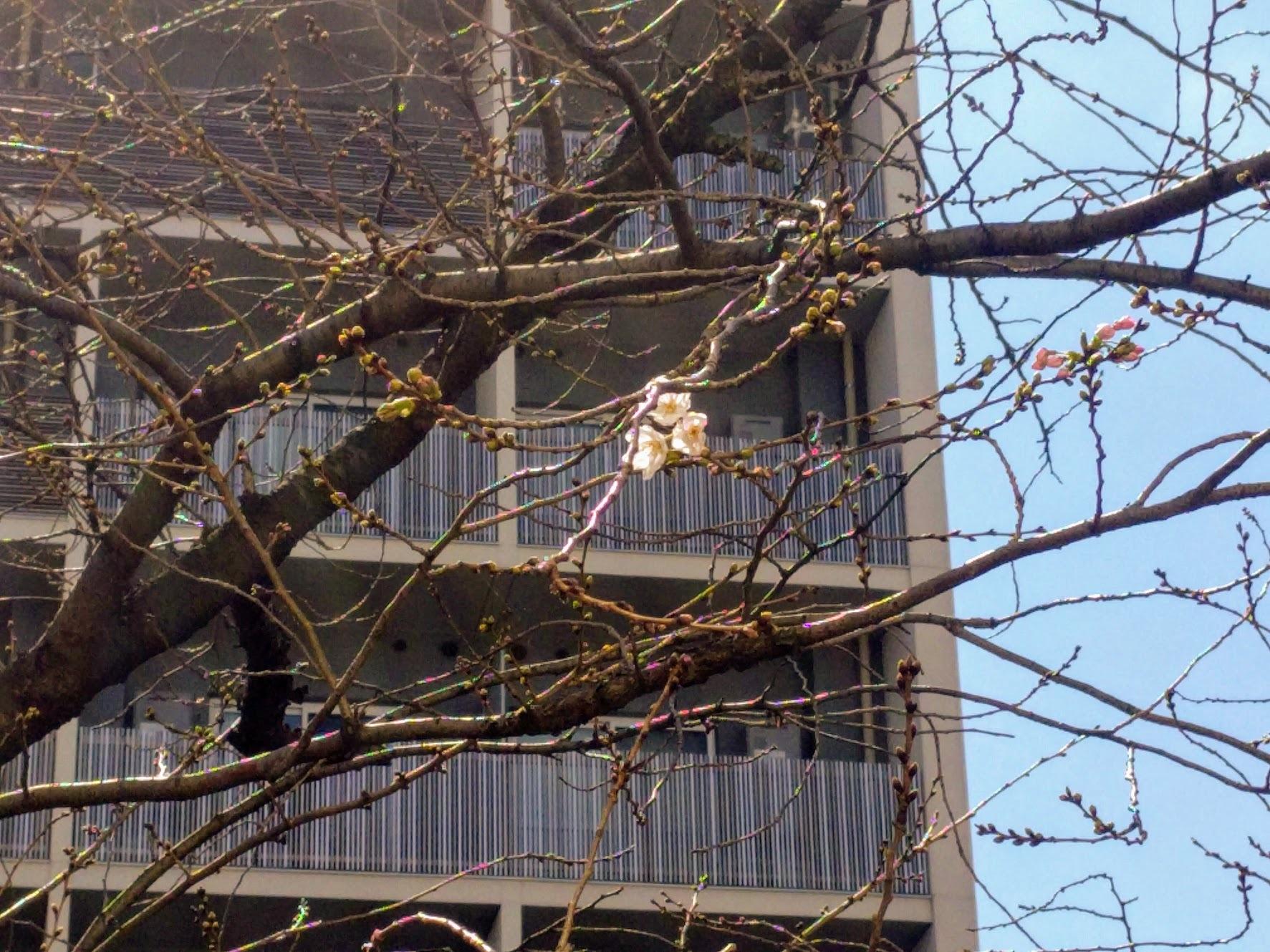 桜開花_f0017300_17293797.jpg