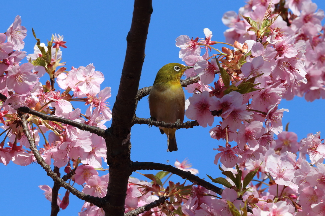 桜咲く里の風景 - 2019年・上越線 - _b0190710_22441718.jpg