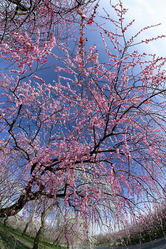 三重県いなべ市遠征・其の二 いなべ市農業公園 梅林公園_f0032011_20151506.jpg