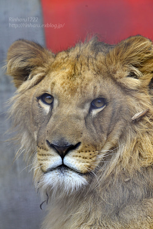 2020.2.29 宇都宮動物園☆ライオンのゴーくん【Lion】_f0250322_2230337.jpg