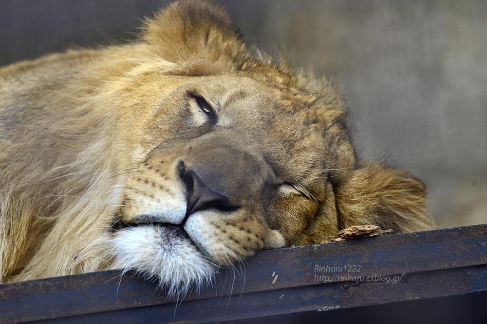 2020.2.29 宇都宮動物園☆ライオンのゴーくん【Lion】_f0250322_223047100.jpg