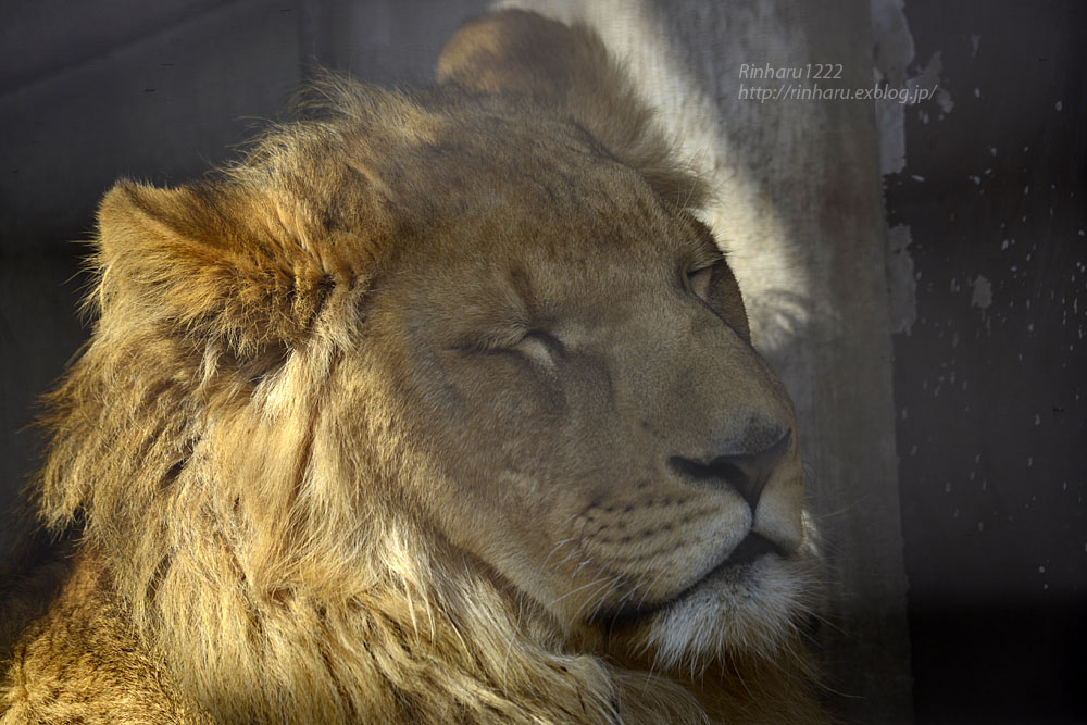 2020.2.29 宇都宮動物園☆ライオンのゴーくん【Lion】_f0250322_22305411.jpg
