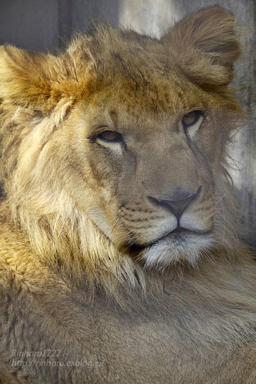 2020.2.29 宇都宮動物園☆ライオンのゴーくん【Lion】_f0250322_2231143.jpg