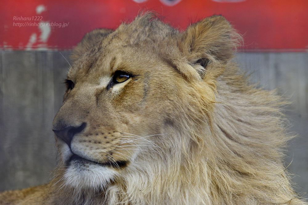 2020.2.29 宇都宮動物園☆ライオンのゴーくん【Lion】_f0250322_22311563.jpg