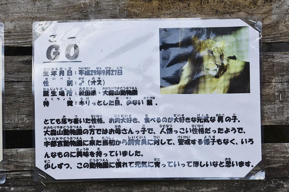 2020.2.29 宇都宮動物園☆ライオンのゴーくん【Lion】_f0250322_2231850.jpg