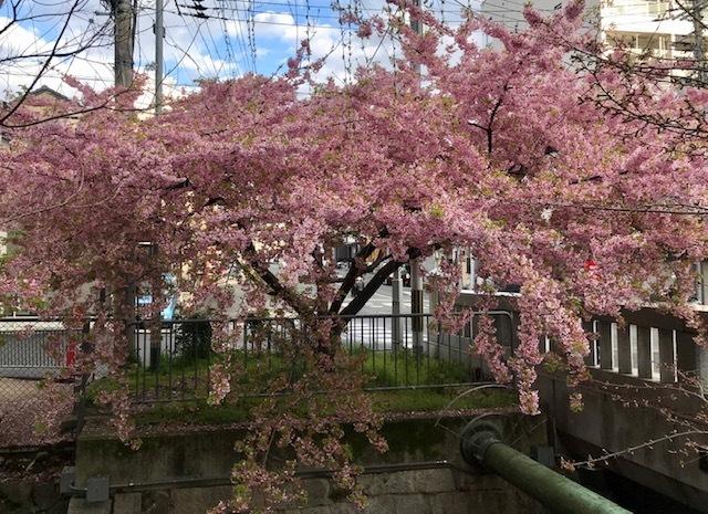 西陣まいづる新作猫名古屋帯とモデルさん・京都の河津桜。_f0181251_18230794.jpg
