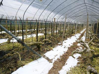甘熟イチジク 確実に実る弱い枝を芽吹かせ育てるための匠の剪定作業2020_a0254656_16481039.jpg