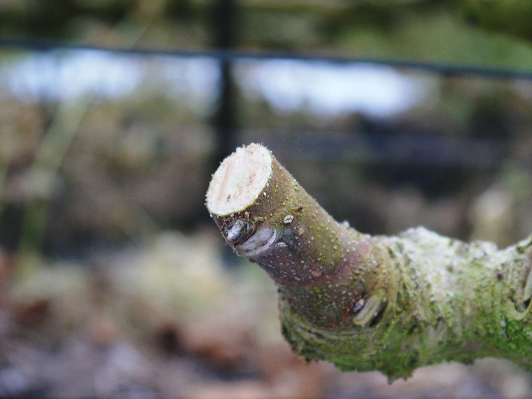 甘熟イチジク 確実に実る弱い枝を芽吹かせ育てるための匠の剪定作業2020_a0254656_16512403.jpg