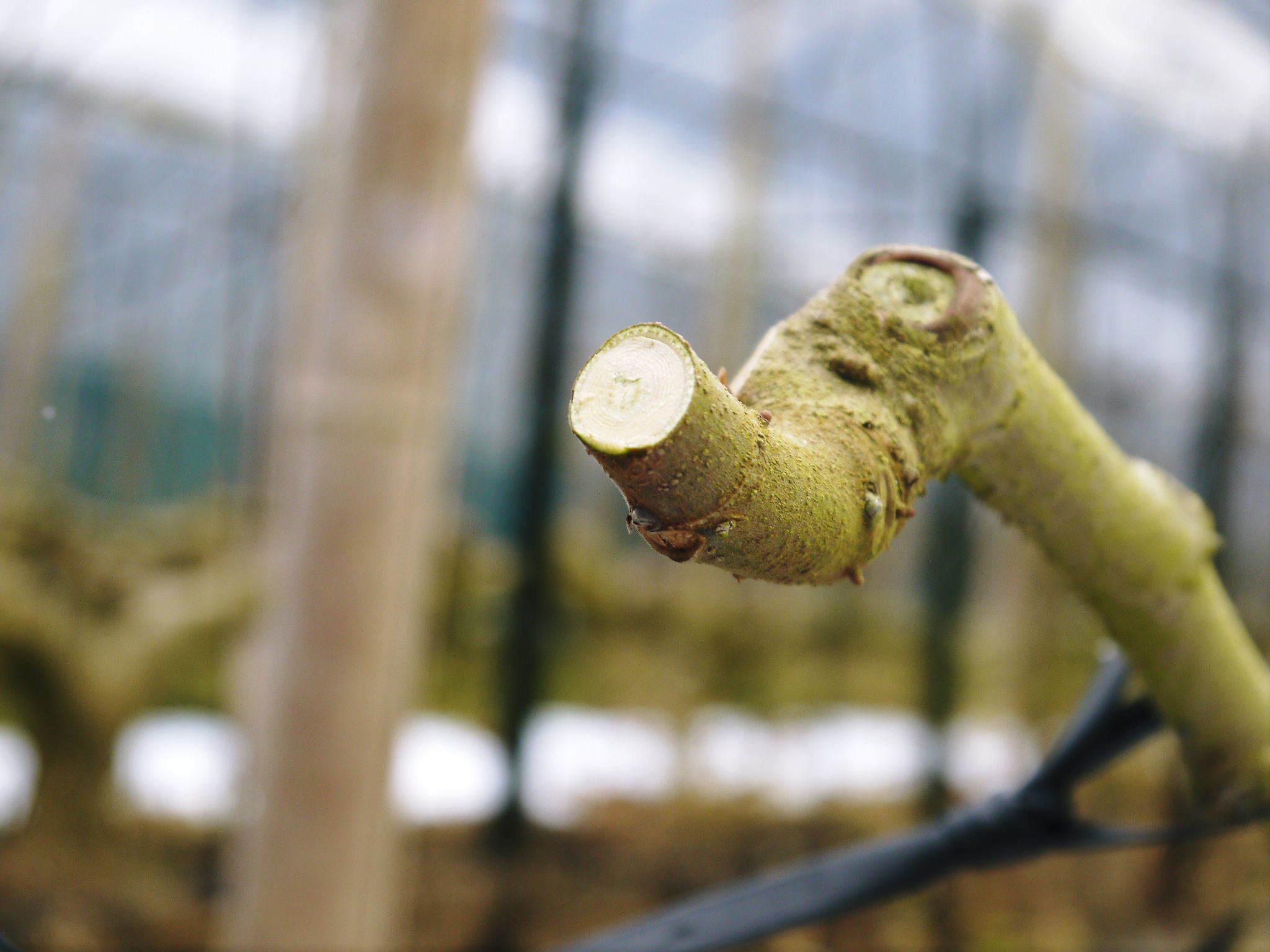 甘熟イチジク 確実に実る弱い枝を芽吹かせ育てるための匠の剪定作業2020_a0254656_16535016.jpg
