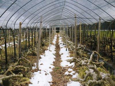 甘熟イチジク 確実に実る弱い枝を芽吹かせ育てるための匠の剪定作業2020_a0254656_17013939.jpg
