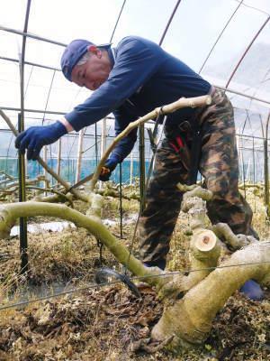 甘熟イチジク 確実に実る弱い枝を芽吹かせ育てるための匠の剪定作業2020_a0254656_17053766.jpg