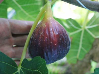 甘熟イチジク 確実に実る弱い枝を芽吹かせ育てるための匠の剪定作業2020_a0254656_17090717.jpg
