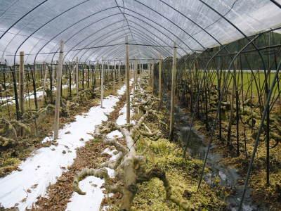 甘熟イチジク 確実に実る弱い枝を芽吹かせ育てるための匠の剪定作業2020_a0254656_17141393.jpg