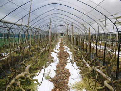 甘熟イチジク 確実に実る弱い枝を芽吹かせ育てるための匠の剪定作業2020_a0254656_17320061.jpg