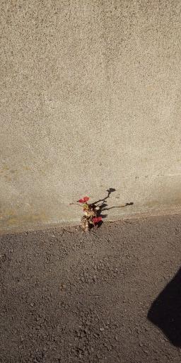 アスファルトにもマケズ、コンクリートにもマケズ #山田パンダ春散歩_b0096957_21435524.jpg
