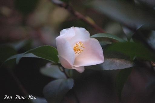 椿の春風  2020年3月10日  _a0164068_22382012.jpg