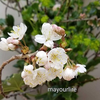 桜に元気をもらって_d0169179_18122857.jpg