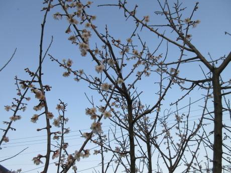花が着いた梅の木・キムチ豆腐鍋・オジ_a0203003_19364655.jpg